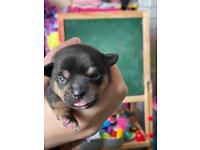 2 miniature chihuahua boy puppies