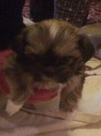 Full pedigree Gorgeous shihtzu puppies for sale