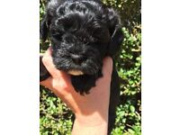 1 shihpoo left due to cancellation!