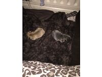 Quality Healthy French Bulldog Puppies KC Reg