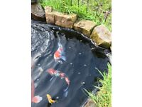 Mixture of Koi for sale 6-18'' - Whole Pond Available