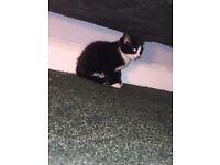 8 week female kitten
