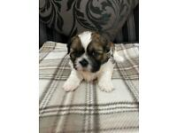 Shih Tzu Puppies full pedigree's with papers