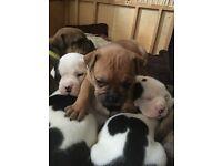 Johnsons American bulldog X Old English bulldog pups
