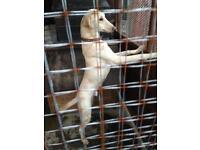 Saluki grey dog pup