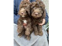 Bedipoo puppies - ready for their forever home