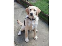 Labrador retriever for sale, hav 6 minth old and it's very lovly with children