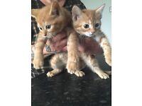 Ginger girl kittens