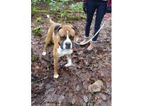 Boxer Dog Boy - 18months old