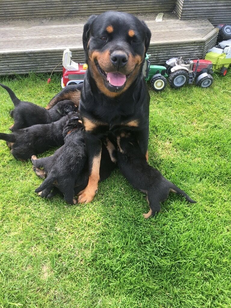 Rottweiler Puppies 2 Bitches Left In Kirkmuirhill South