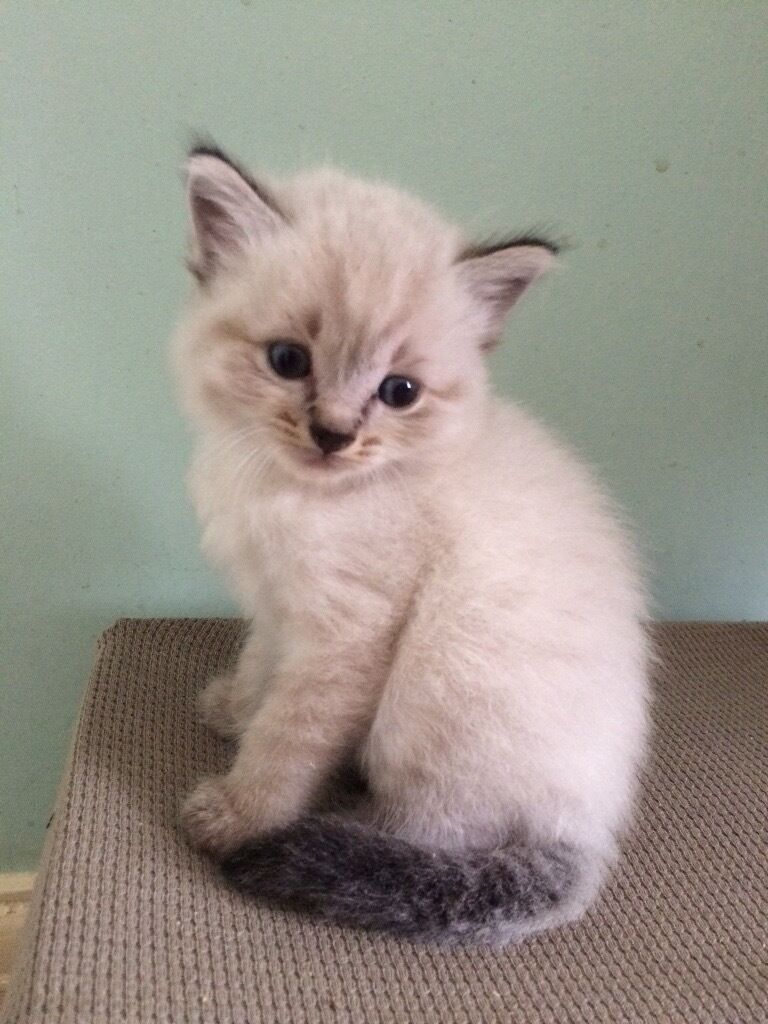 Beautiful ragdoll x snow Bengal | in Coalville, Leicestershire ...