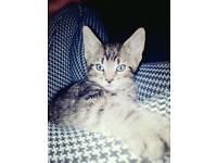 3 tabby cross Bengal kittens