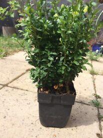 Box Hedge Plants 1 litre pots