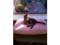 Female Tabby Kitten needing a forever loving home