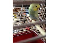 8 Budgies for sale