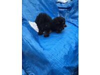 4 lovely poodle puppies