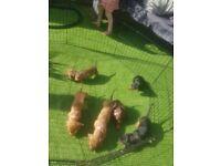 Dashaund puppies for sale