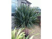 Huge 'statement' Cordyline plant
