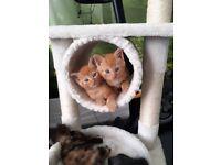 Ginger Kittens looking for loving homes