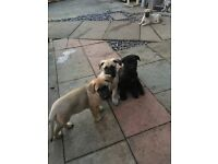 Bullmastiff cross Belgian Shepard puppies for sale