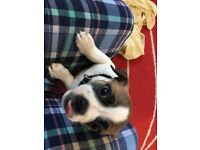 Pug x shih tzu x jack Russell pup for sale