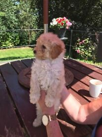 Cockapoo Puppies only 2 boys & 2 girls left.