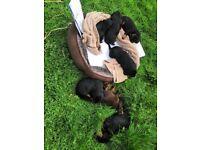 Slovakian kopov hound, puppies/puppy