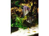 2 x large Angel fish