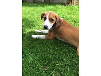 Beagle cross collie pup for sale