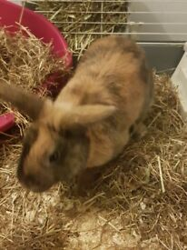 Brown mixed coloured Rabbit with Cage