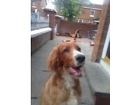 Irish setter male for sale 5 months old