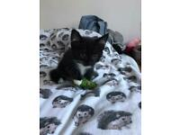 Beautiful kitten for sale London £320 each (07472753653)