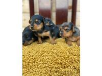Miniature dachshund x puppies