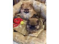 Kc Pomeranian girl pups