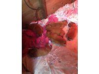 Dogue du Bordeaux lx registered