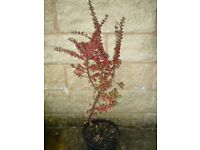 Lovely Cotoneaster