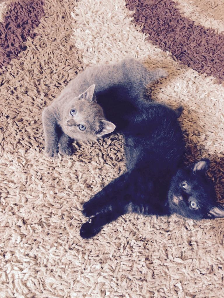 Kittens for sale   in Brockenhurst, Hampshire   Gumtree