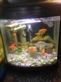 Fan tailed goldfish and tank