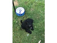 F1 schnoodle Puppies