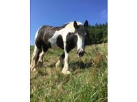 Coloured Gelding 3 Year's old