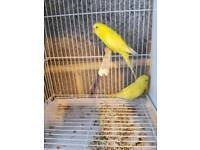 10 budgies for sale