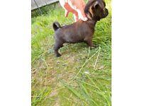 Griffon bruxellois x chihuahua puppies