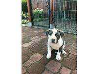 American Bully XXL puppies