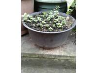 Large tub of garden mint