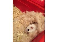 Winter white hamster