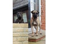 Reposted due to time wasters full pedigree Presa Canario puppies for sale