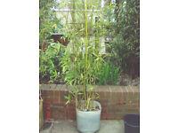 YELLOW BAMBOO PLANT