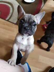 2 french bull dog pups for sale 1 fawn boy and 1 dark girl no papers hence price 750 no offers