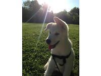 American Akita x malamute puppy