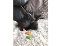 8 week old rabbits for sale (2 left) x dwarf
